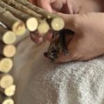 Alpenfledermaus - Tanja Hess Tierkommunikation